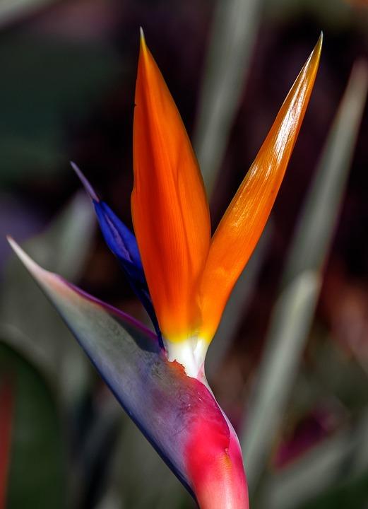 Bird Of Paradise Flower, Flower, Petals, Sun Lit
