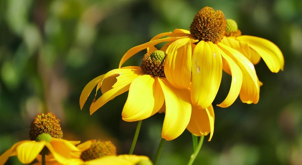 Nature, Garden, Flowers, Coneflower, Sun, Light, Yellow