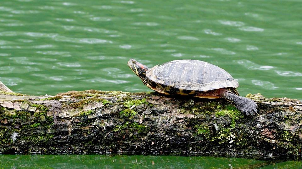 Turtle, Nature, Water, Log, Sun