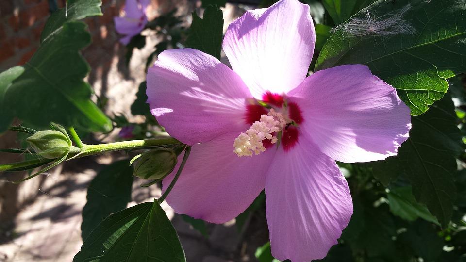 Hibiscus, Pink, Summer, Flowers, Sun, Nature