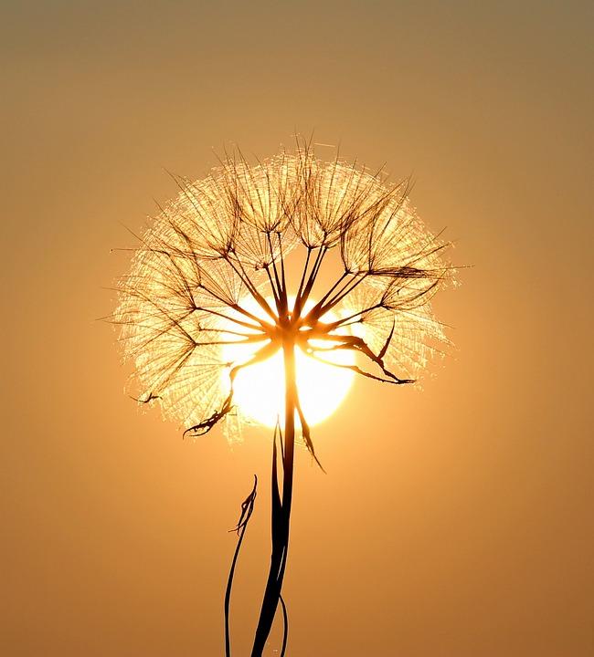 Dandelion, Sun, Dew, Water, Plants