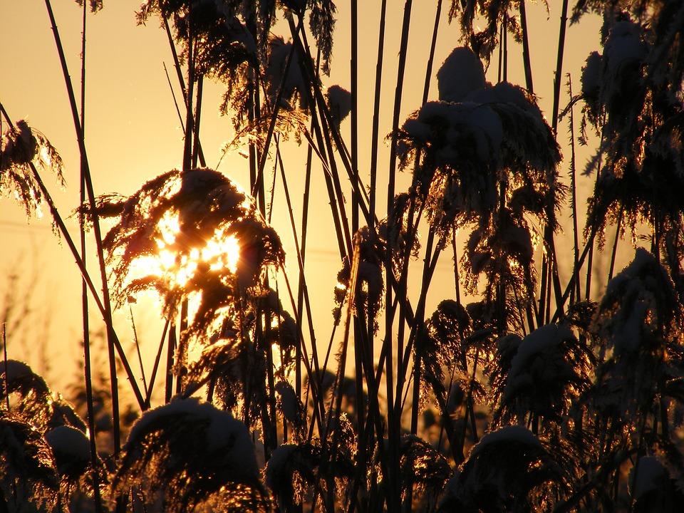 Grass, Phragmites, Poales, Reed, Specie, Sun, Plants