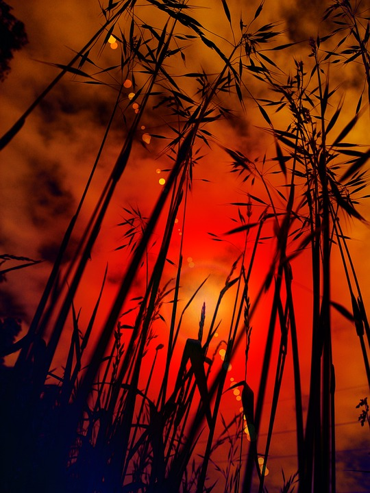 Cereals, Sunset, Grasses, Sun, Sky, Evening Sky
