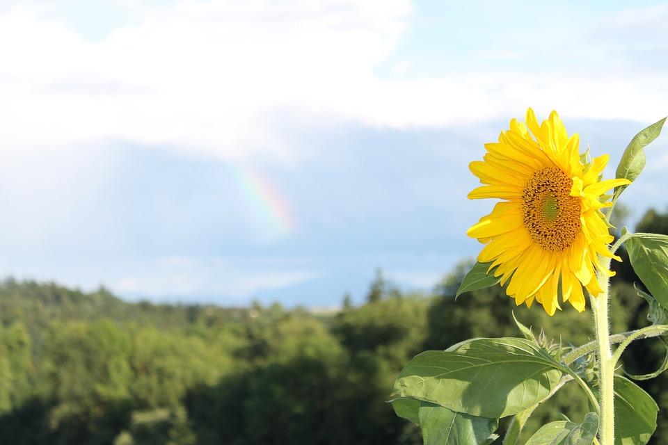 Sun, Flower, Summer, Blossom, Bloom, Summer Flower