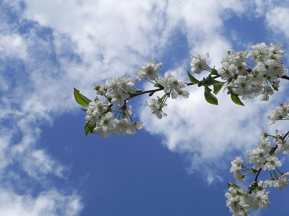 Cherry Blossom, Summer, Spring, Cherry, Sun, Flower