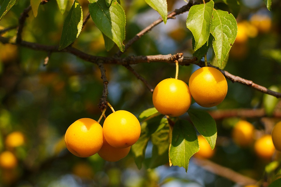 Cherry Plum, Yellow, Berry, Fruit, Harvest, Summer, Sun