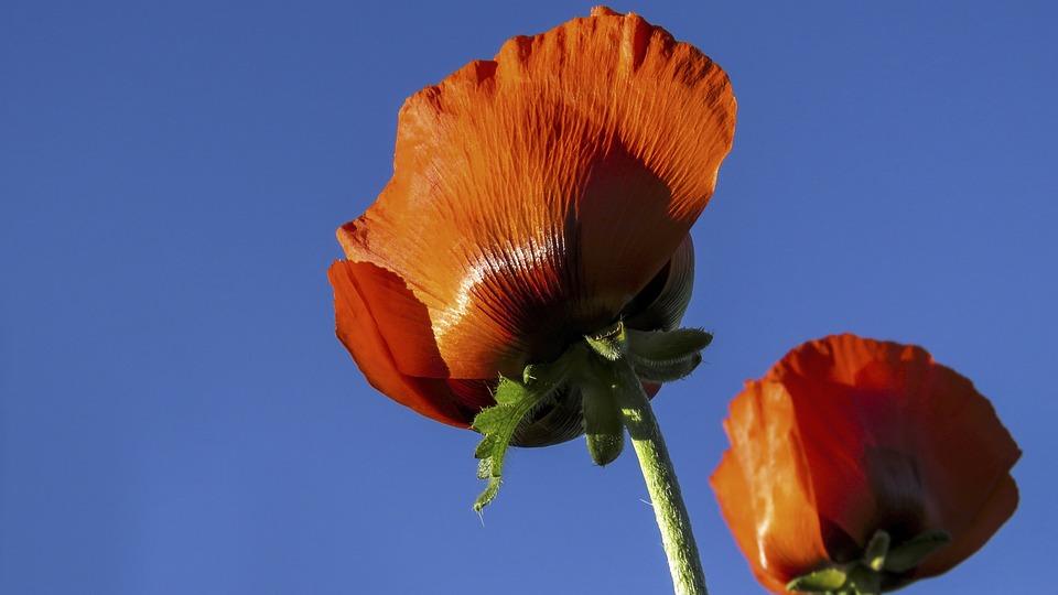Maki, Flowers, Red, Summer, Bloom, Flora, Nature, Sun