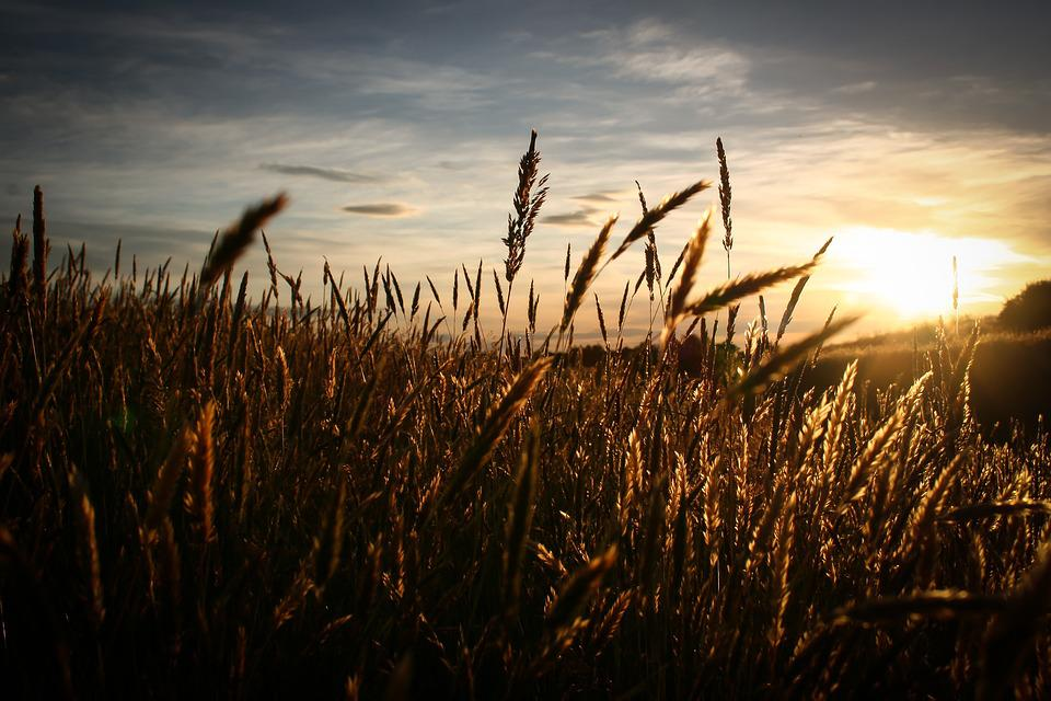 Field, Sky, Sun, Sunrise, Sunset, Wheat