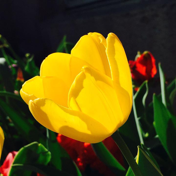 Tulip, Flowers, Yellow, Red, Sun, Tulips, Flora, Black