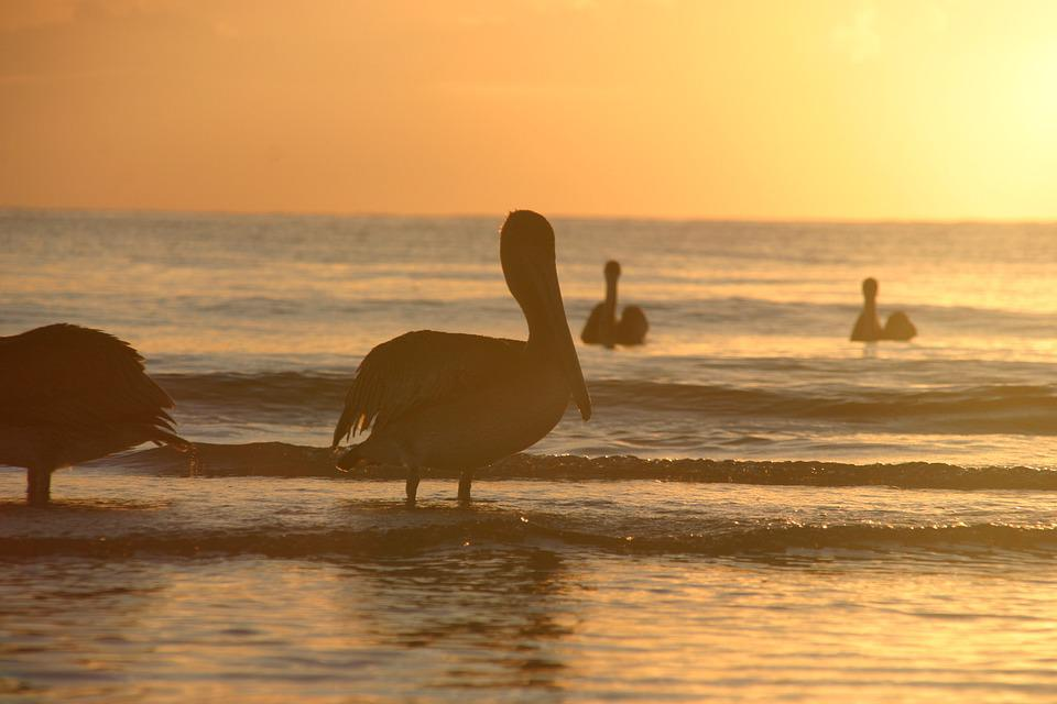 Sunset, Pelicans, Sea, Ocean, Sun, Pelikan, Water, Sky