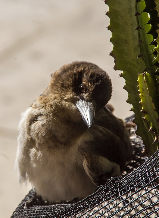 Pied Butcherbird, Butcherbird, Young, Sunbathing