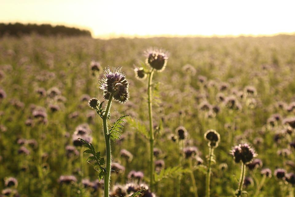 Landscape, Bees, Phacelia, Abendstimmung, Sunbeam