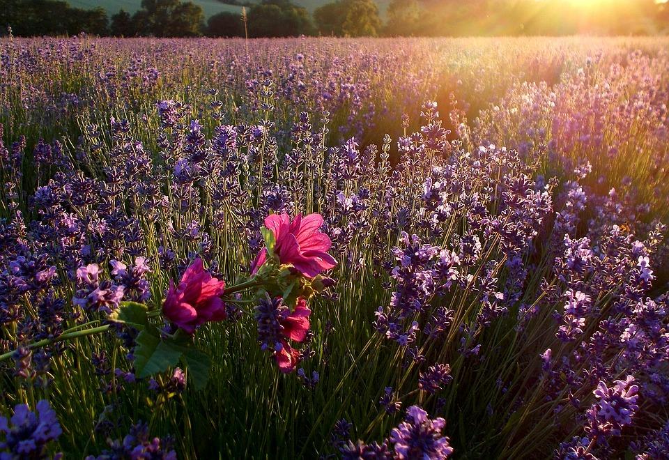 Lavender, Sunbeam, Lavender Field