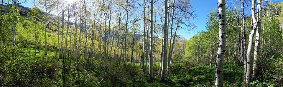 Aspen, Forest, Spring, Mountain, Sunburst, Utah