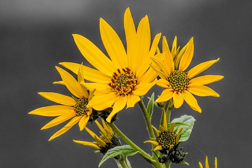 Autumn, Flowers, Sunflower, Jerusalem Artichoke