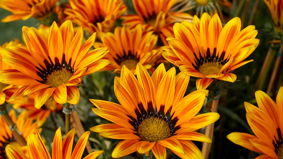 Beautiful Flowers, Sunflower, Bed Of Flowers