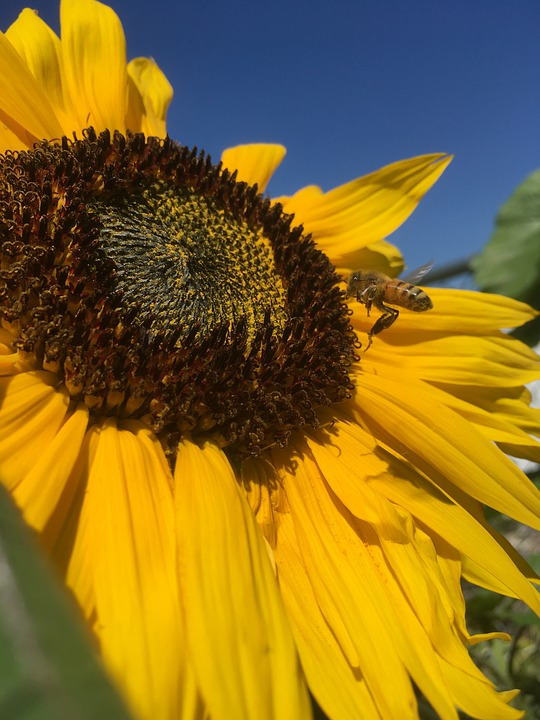 Sunflower, Flower, Plant, Petals, Bee, Insect, Nature