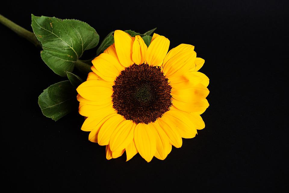 Free photo sunflower black background flower yellow max pixel sunflower yellow black background flower mightylinksfo