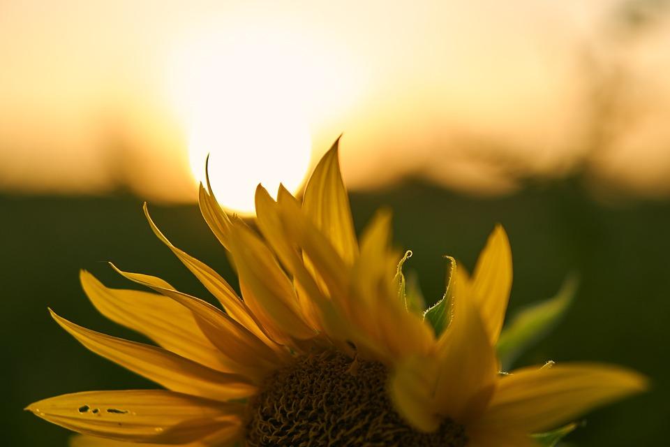 Sunflower, Blossom, Bloom, Sunset, Backlighting, Bloom