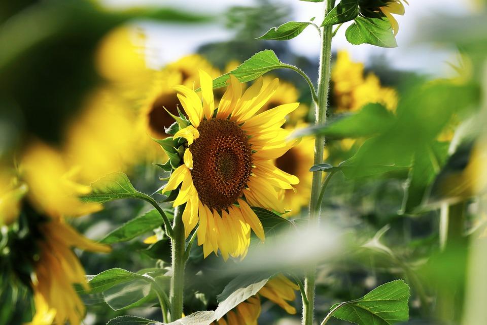 Sunflower, Flowers, Bloom, Summer, Yellow, Bright, Sun