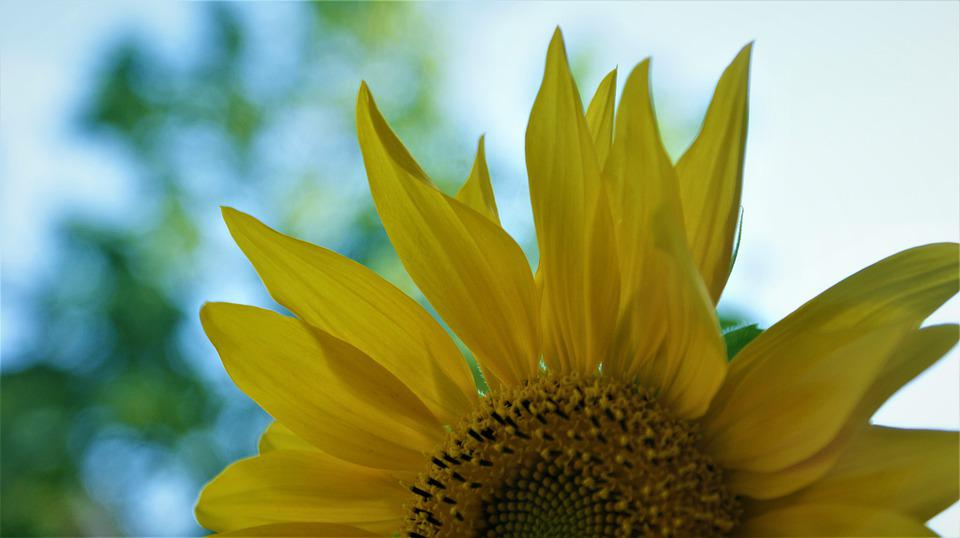 Sunflower, Yellow, Summer, Bloom, Bright, Vegetable