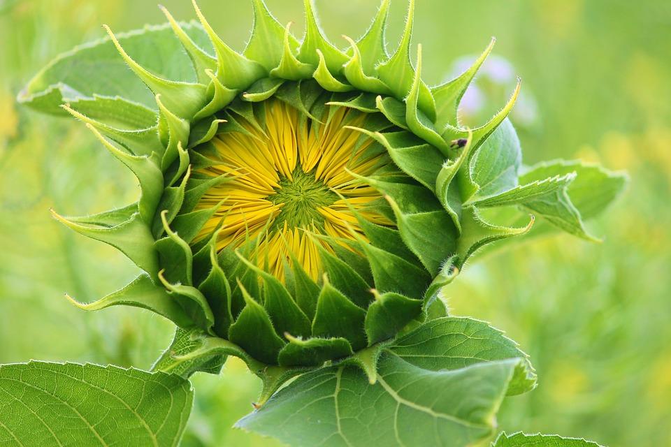 Sunflower, Bud, Blossom, Go Up, Bloom, Summer, Plant