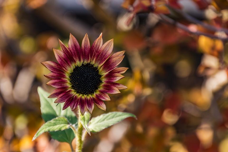 Sunflower, Flower, Nature, Summer, Blossom, Bloom