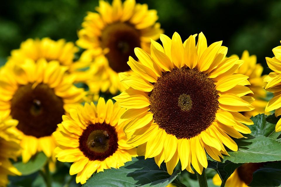Sunflower Field Yellow Summer Flowers