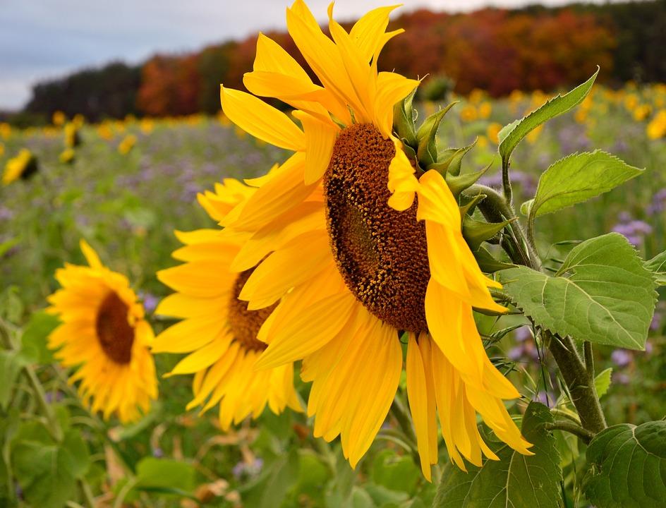 Sunflower, Flowers, Plant, Sunflower Field, Field