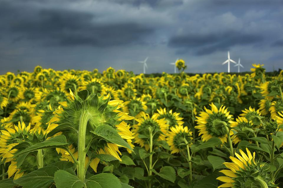 Sunflower, Helianthus, Flowers, Plant, Sunflower Field