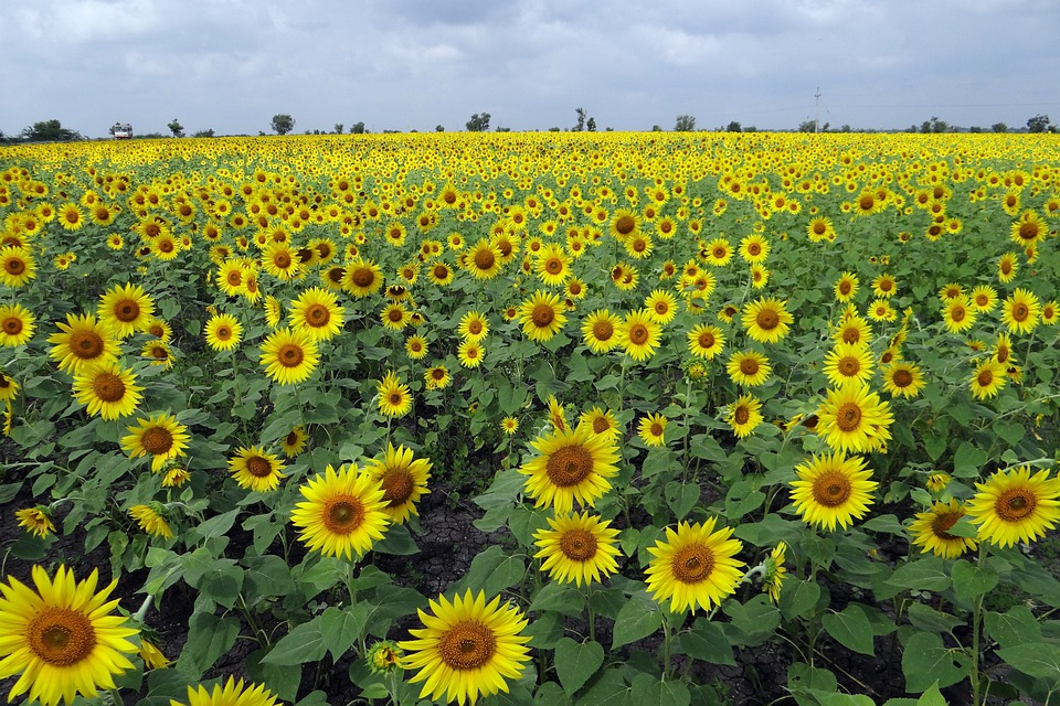 Sunflower Fields, Flowers, Karnataka, India, Floral