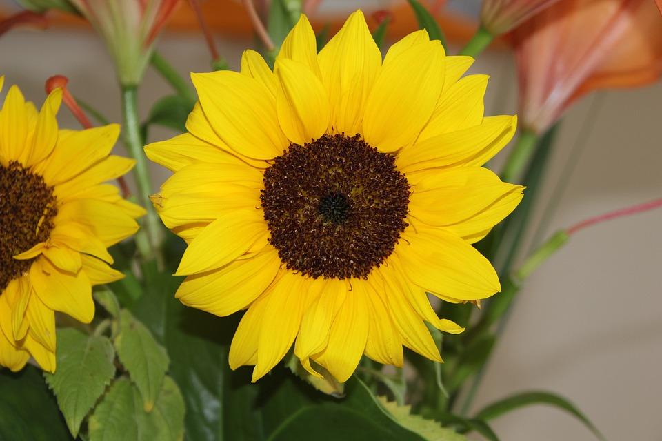 Flora, Nature, Flower, Summer, Leaf, Yellow, Sunflower
