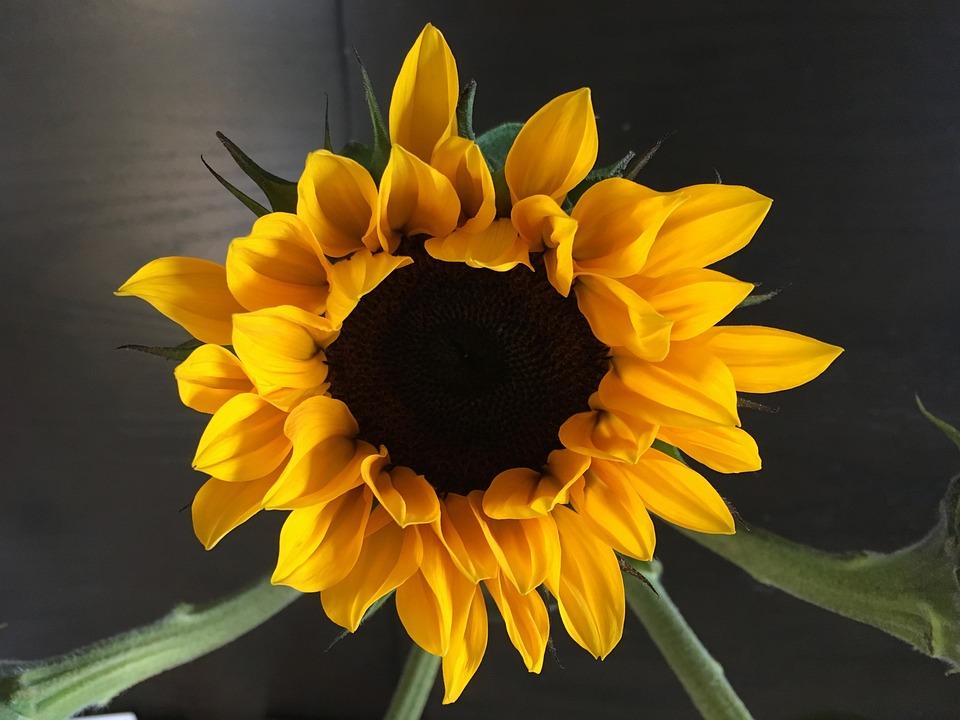 Flower, Sunflower, Floral