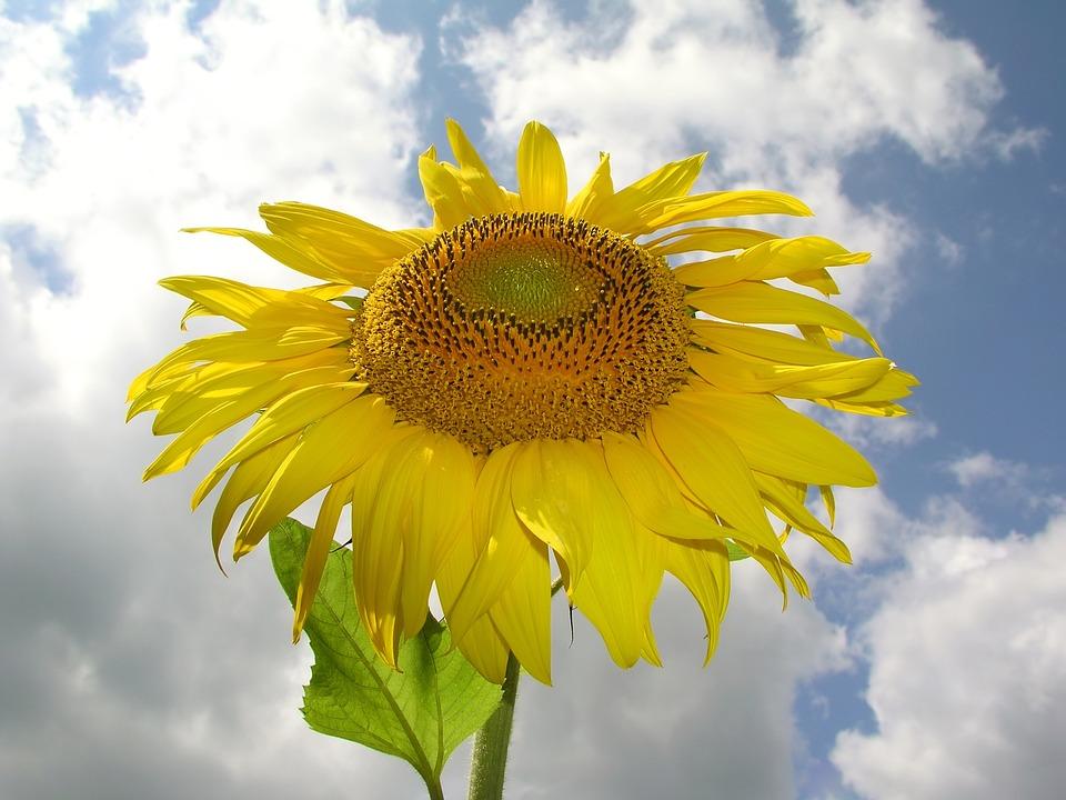 Flower, Sunflower, Yellow, Himmel