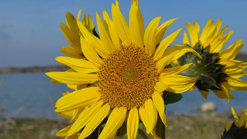 Sunflower, Lake, Water, Flower