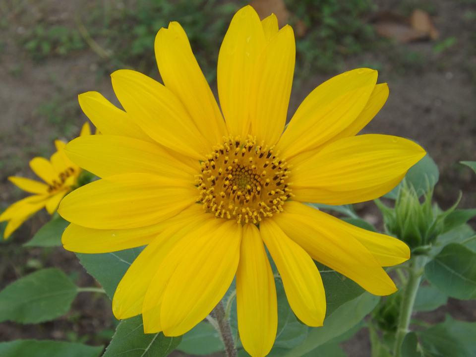 Sunflower, Flower, Yellow, Nature, Plant, Leaf, Green