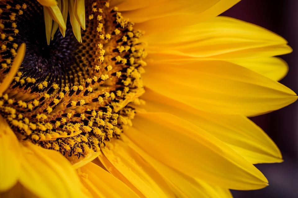 Yellow, Sunflower, Flower, Close Up, Macro, Petals
