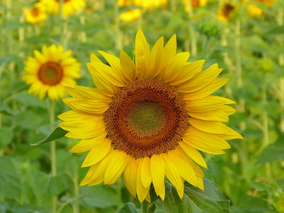 Nature, Plant, Flower, Summer, Field, Sunflower, Floral