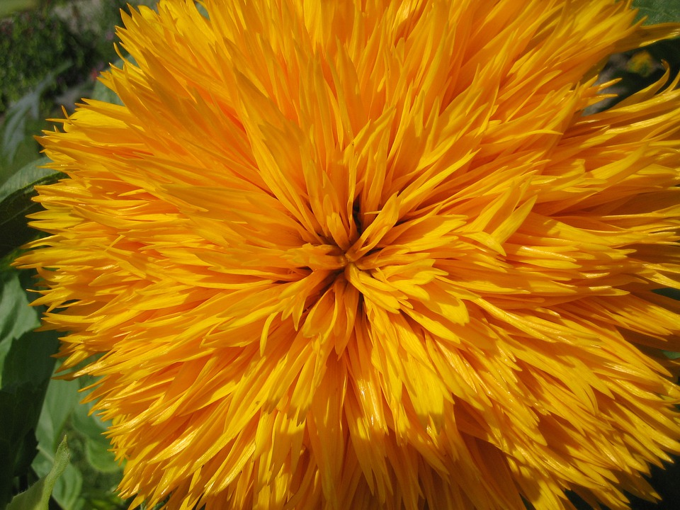 Sunflower, Flower, Blossom, Yellow, Flowers, Nature