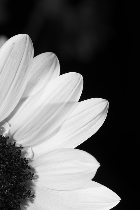 Flower, Black And White, Profile, Sunflower