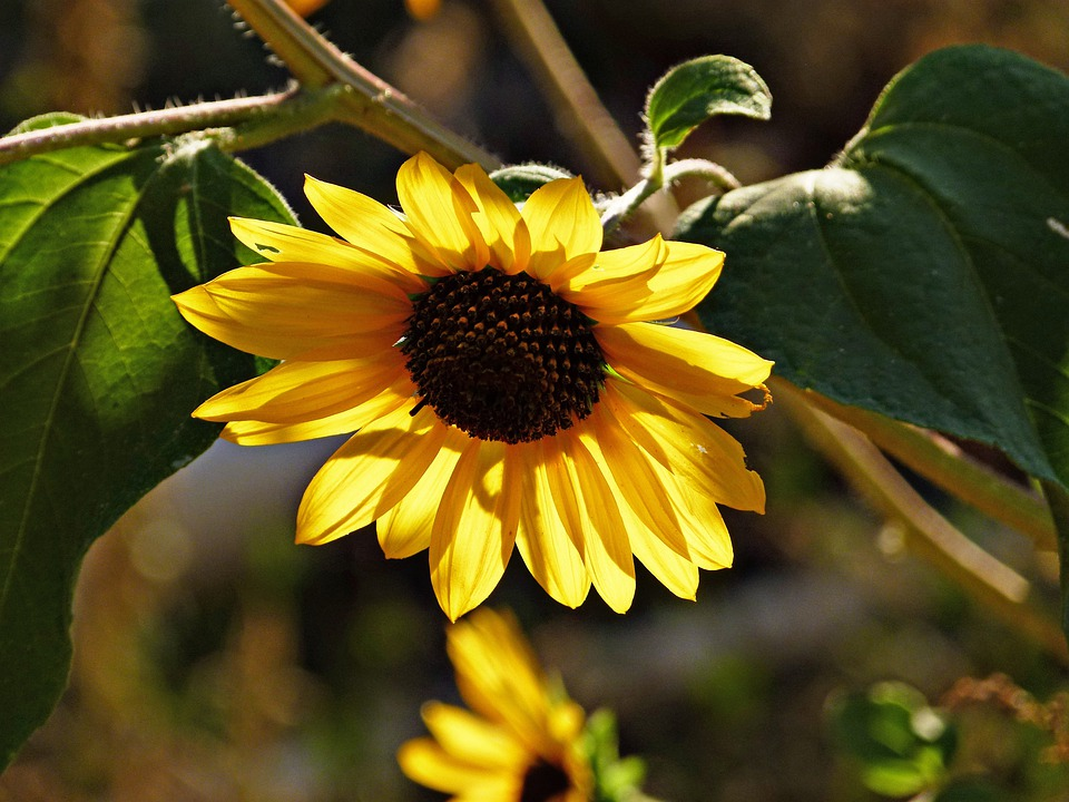 Sunflower, Flower, Plant, Nature, Yellow