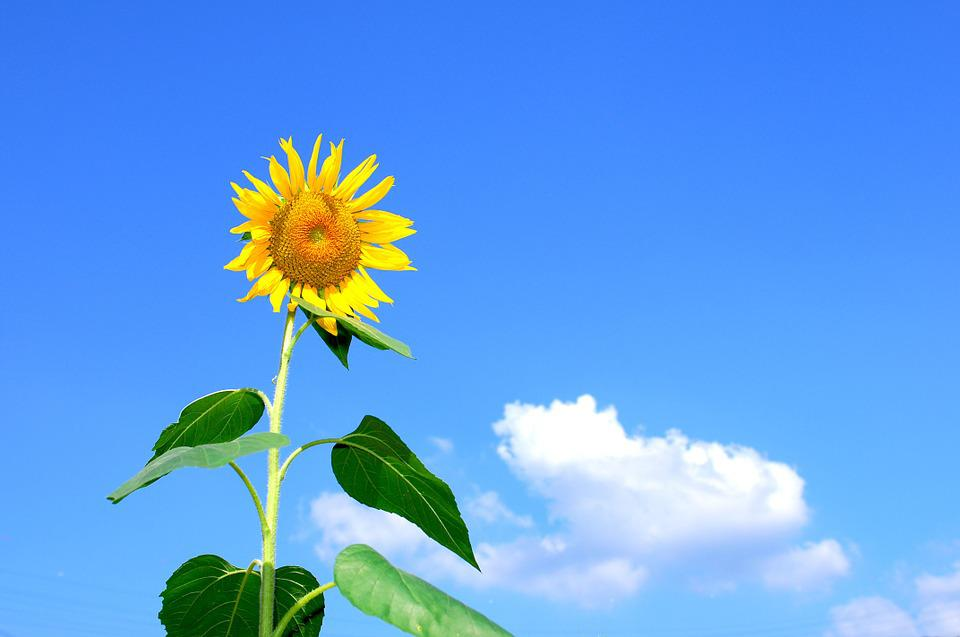 Summer, Sunflower, Flowers, Sky, Cloud