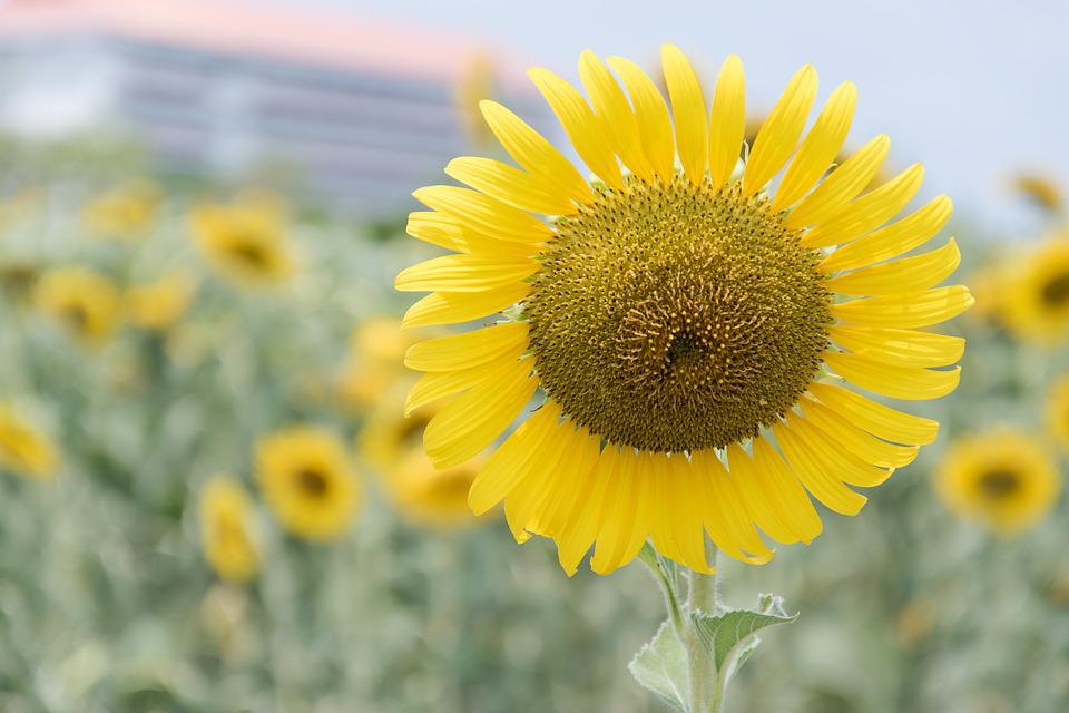 Sunflower, Flowers, Nature
