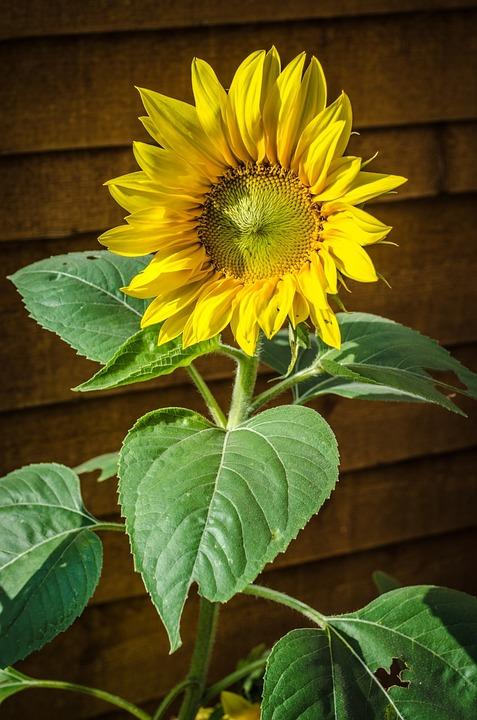 Sunflower, Flower, Flowers, Yellow, Seasons, Summer