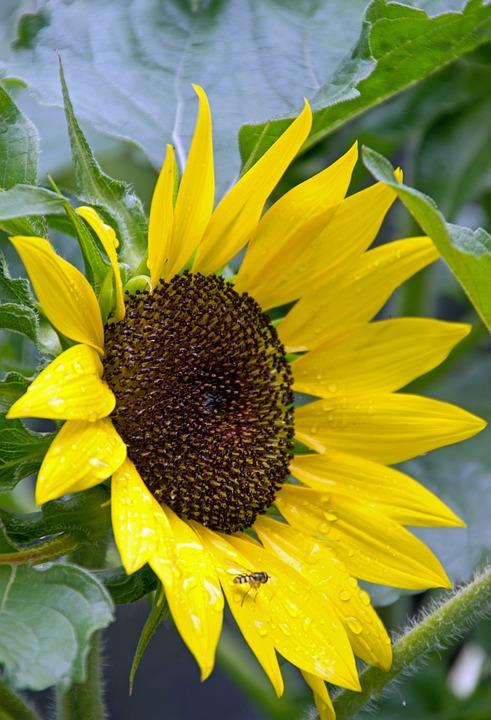 Sunflower, Summer, Flowers
