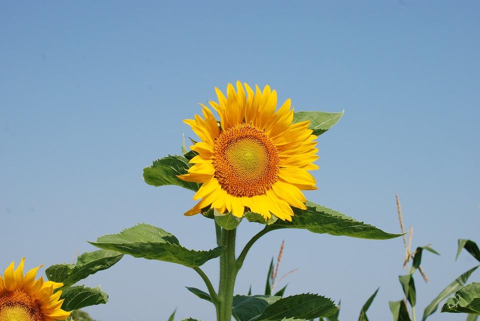 Sunflower, Summer, Flowers, Yellow Flower, Blue Sky