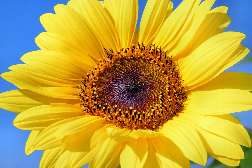 Sun Flower, Sunflower, Flowers, Summer, Yellow