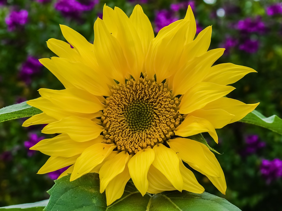 Sunflower, Nature, Flower, Flora, Spring, Garden, Bloom