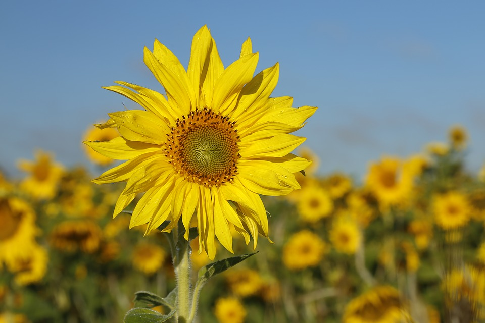 Sunflower, Flower, Nature, Floral, Plant, Natural
