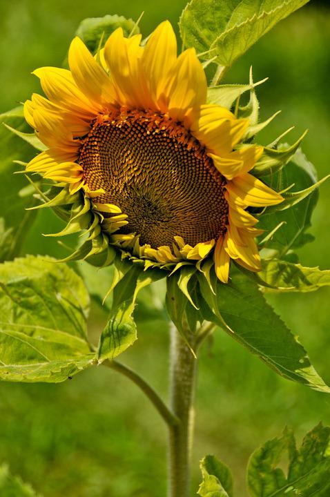 Sunflower, Sun, Nature, Yellow, Agriculture